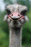 Struzzo, struthio camelus Immagine Stock Libera da Diritti