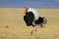 Struzzo, strutting la sua roba Fotografia Stock