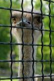 Struzzo in una gabbia Immagini Stock