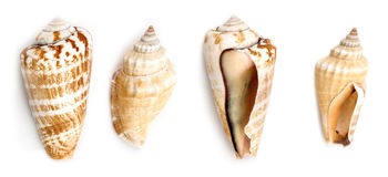 Strwberry Conch And Samar Conch Shells Royalty Free Stock Image
