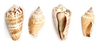 Strwberrykroonslak en Samar Conch Shells royalty-vrije stock afbeelding