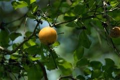 Strychninefruit en bladerenbraaknoot stock foto