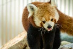 Stryka omkring för röd panda Arkivfoto