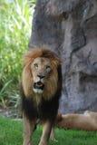 Stryka omkring lejonet med hans mun öppna litet uppvisning av hans tänder royaltyfria foton