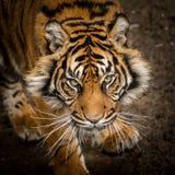 stryka omkring tiger Royaltyfria Foton
