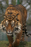 stryka omkring tiger Royaltyfria Bilder