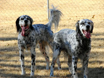 Stryker & Spirit. Father & son purebred English Setters royalty free stock photo