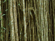 Strypa figen Arkivfoto