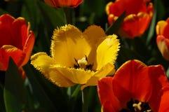 Strzępiasty tulipanowy Hamilton zdjęcie stock