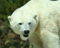 strzałów niedźwiadkowi kierowniczy biegunowi ramiona Zdjęcie Stock