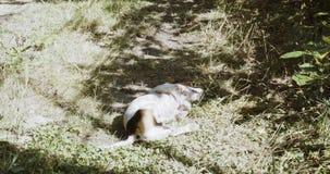 Strzał dźwigarki Russell pies zbiory wideo