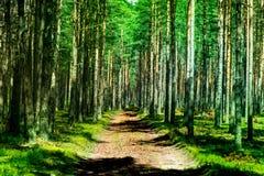 Strzał sosnowy las i gęsta warstwa mech zdjęcie royalty free