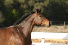 strzał w głowę konia Fotografia Stock