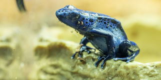 strzałki błękitny żaba Obraz Stock
