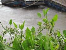 Strzałkowata głowa AmeSon lub amazonka kordzika roślina na bankach na deszczowym dniu schronienie i rzeka fotografia royalty free