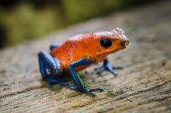 strzałki żaby jadu truskawka Obraz Royalty Free