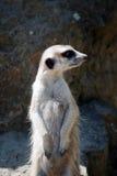 Strzeżenia meercat Fotografia Royalty Free