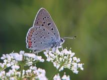 Strzelający miedziany motyl na beacked świerząbku kwitnie na zielonym tle Fotografia Royalty Free