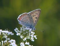 Strzelający miedziany motyl na beacked świerząbku kwitnie na zielonym tle Zdjęcia Royalty Free