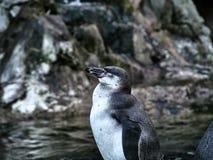Strzelający pingwin obraz royalty free