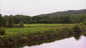 Strzelający rzeki odbicie krów pasać i zbiory