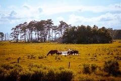 Strzelający sławni dzicy konie na Assateague wyspie w Virginia obraz stock