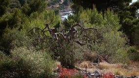 Strzelający stary drzewo oliwne blisko brzeg rozłam zbiory
