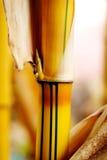 strzelaj bambusowy Zdjęcie Stock