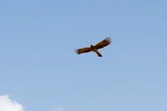Strzelisty Popielaty Oddalony ptak Fotografia Royalty Free