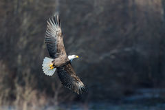 Strzelisty Łysy Eagle blisko Squamish kolumbiów brytyjska Fotografia Royalty Free