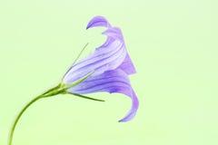 Sätta en klocka på blomman Royaltyfri Fotografi