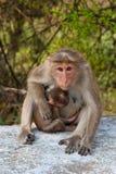 sätta på en hätta macaquemodern Arkivbild