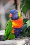 Sätta sig för regnbågelorikeet (Trichoglossushaematodus) Royaltyfri Bild