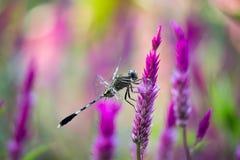 stting在鸡冠花花的蜻蜓在软的背景中 库存照片
