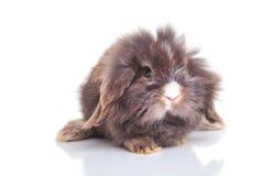 stting狮子头兔子的兔宝宝的正面图 免版税库存图片
