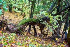 Stub пня выхвата в лесе Стоковые Фото