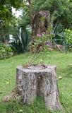 Stub of aged tree. Stub, stump, tree, wood aged bark chips cortex cut rind splinter Royalty Free Stock Photos