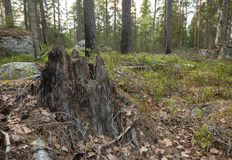 Stub in mixed forest with partly burnt pine trees. Photographed in a natural forest in sweden royalty free stock photos