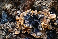 Stub Mushroom Stock Image