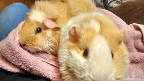 Stubarwni królik doświadczalny Zdjęcie Royalty Free