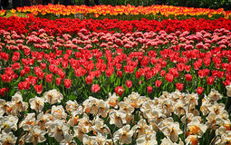 Stubarwni tulipany kwitnący w wiośnie Obraz Royalty Free