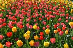 Stubarwni tulipany na łóżku, wiosna Obrazy Royalty Free