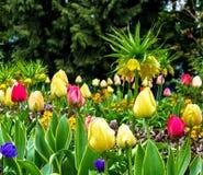 Stubarwni tulipany na flowerbed w parku Obraz Royalty Free