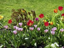 Stubarwni tulipany w łące obrazy stock