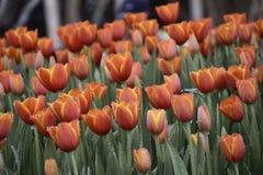 Stubarwni tulipany w kwiatu ogródzie zdjęcie stock