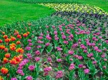 Stubarwni tulipany w miasto parku w Latvia zdjęcia royalty free