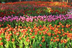 Stubarwni tulipany w ogródzie, tulipanu pole Zdjęcia Stock