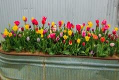 Stubarwni tulipany w plantatorze zdjęcie stock