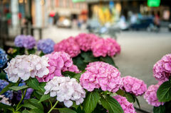 Stubarwny błękit, purpura, bez, biała hortensja na ulicie przy sklepem wielobranżowy sprzedawał dla prezent nocy przeciw Zdjęcia Royalty Free