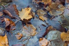 Stubarwny moczy liście po deszczu Jesień dój W kałuży ulistnienie jest mokry Piękny tło liście Fotografia Royalty Free